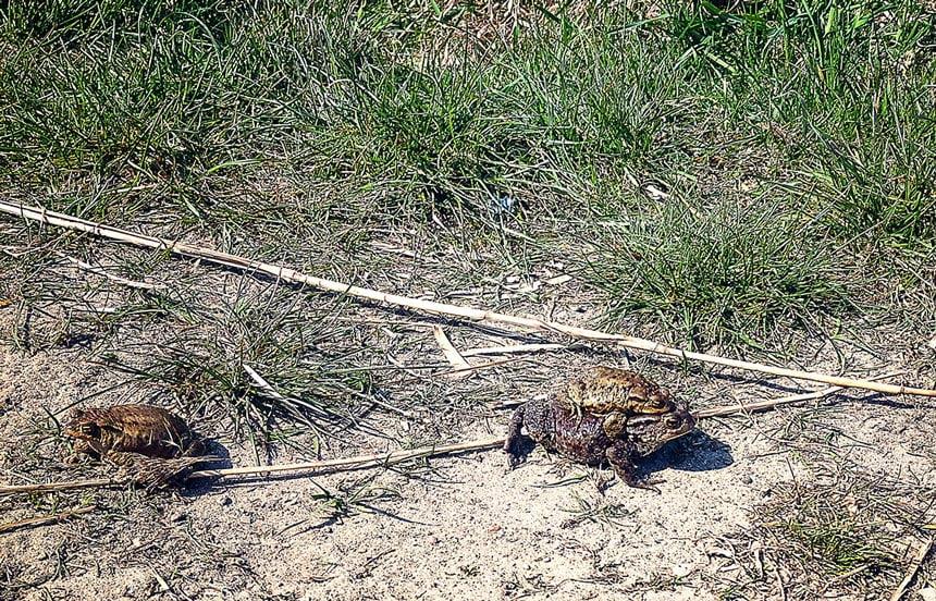 Uwaga! Żaby na drodze!